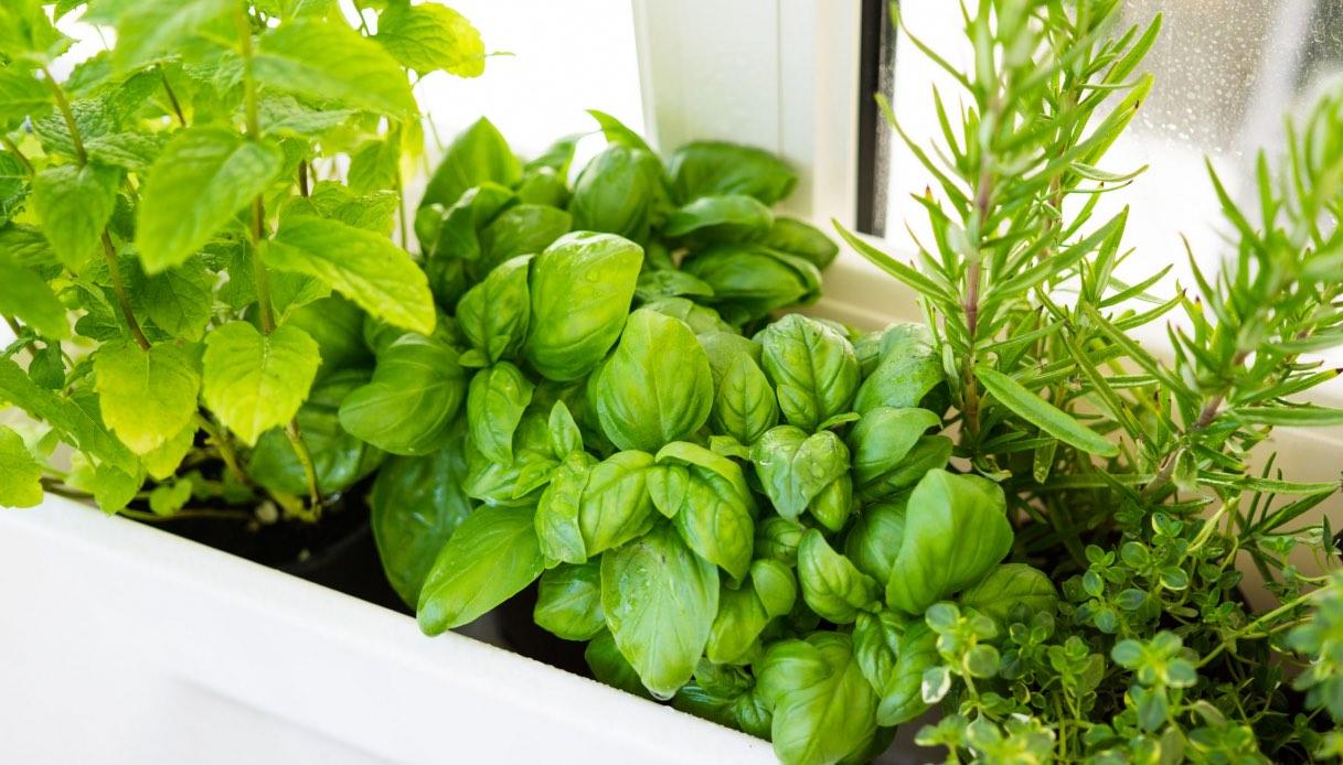 Coltivare In Casa Piante Aromatiche piante aromatiche: quali e come coltivarle sul balcone