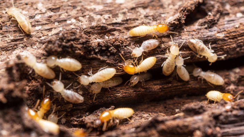 termiti 1217
