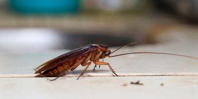 scarafaggi piccoli