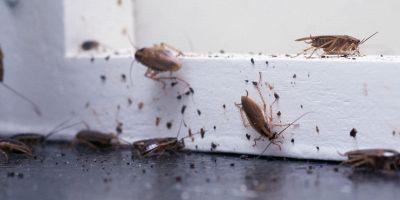 come eliminare scarafaggi in modo naturale