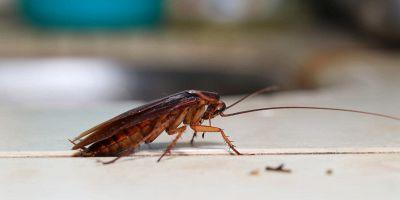 da dove arrivano gli scarafaggi
