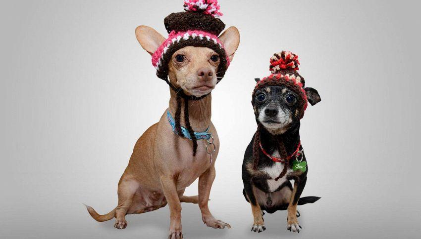 I minuscoli cani 'toy' sono di moda: perché è meglio non comprarli