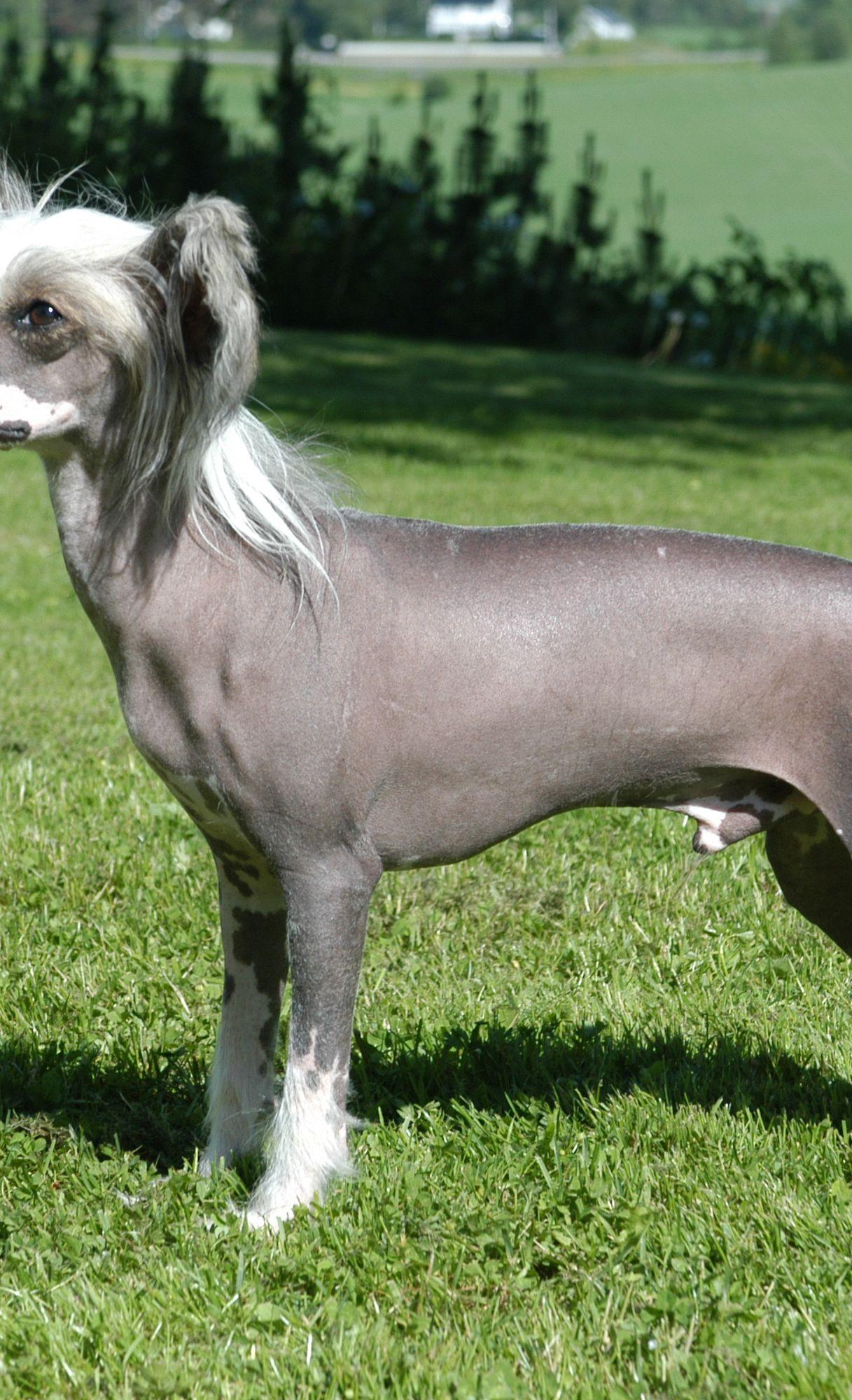 Il Cane Nudo Cinese Il Cane Nudo Cinese Supereva