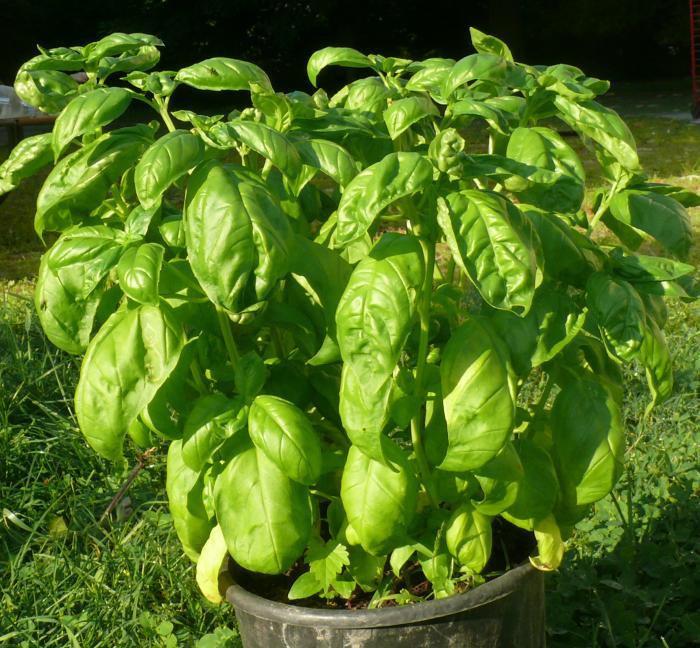 Le verdure che potete comprare una volta e poi coltivare in casa