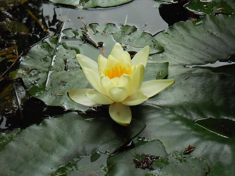 Fiore di Loto, la magica storia del simbolo della perfezione