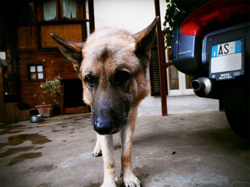 Come i cani poliziotto riconoscono i criminali dal loro odore