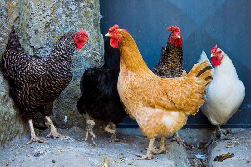 Che differenza c'è tra pollo e gallina