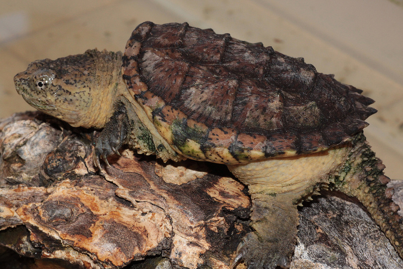 Tartaruga azzannatrice: nei dintorni di Milano se ne aggira una