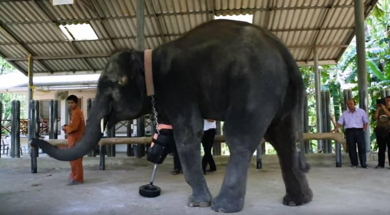 Mosha è il primo elefante con una protesi per la gamba
