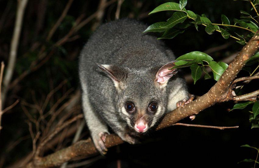 Animali strani in Australia: il tricosuro volpino