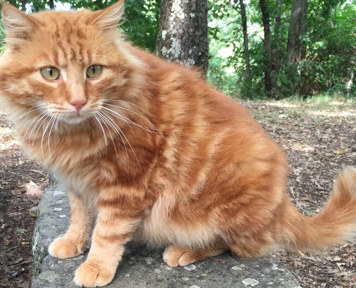 Gatto Tigrato A Pelo Lungo Maine Coon Supereva