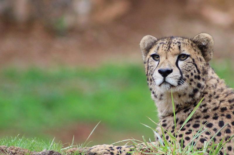 Che differenza c'è tra leopardo, ghepardo e giaguaro nel mondo animale