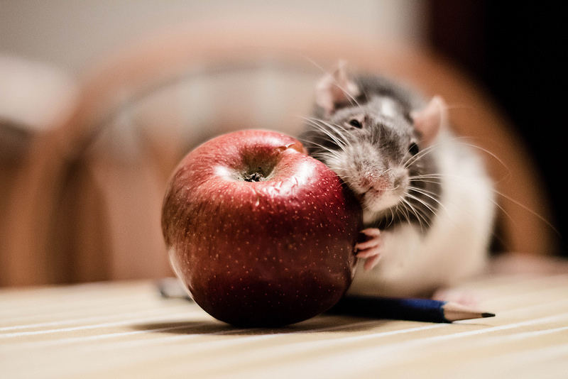 Che differenza c'è tra ratto e topo
