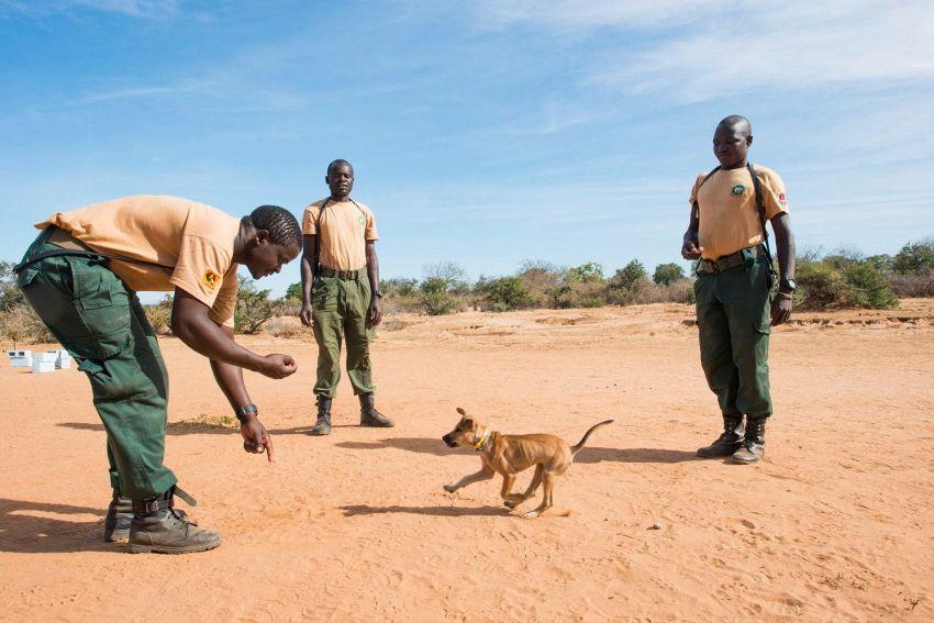 Questo piccolo cane combatte i cacciatori di elefanti