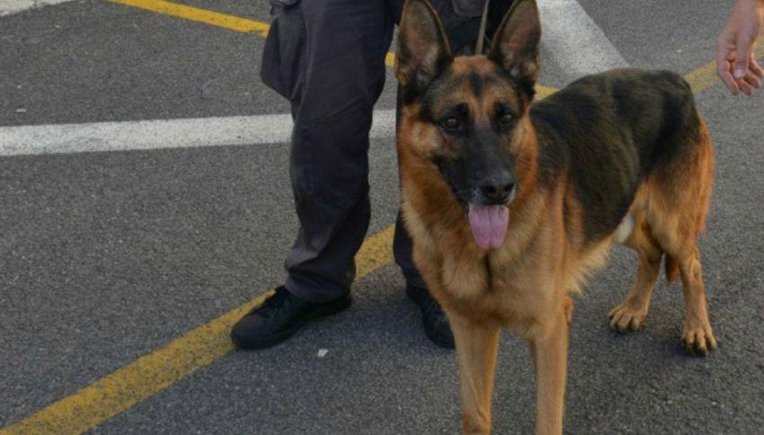 L'eroe del giorno è ACAB, un cane poliziotto