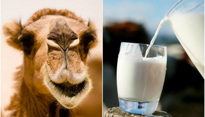 10 buoni motivi per cominciare a bere latte di cammello