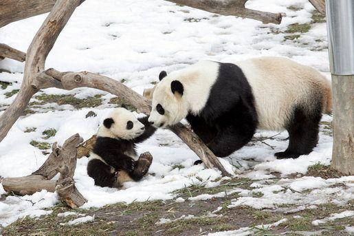 I primi passi di un tenero cucciolo di Panda