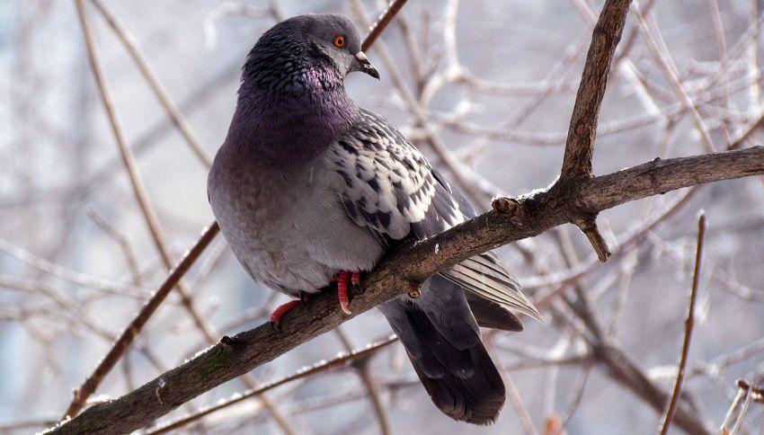 I piccioni sanno leggere e distinguere vocaboli: la scoperta incredibile