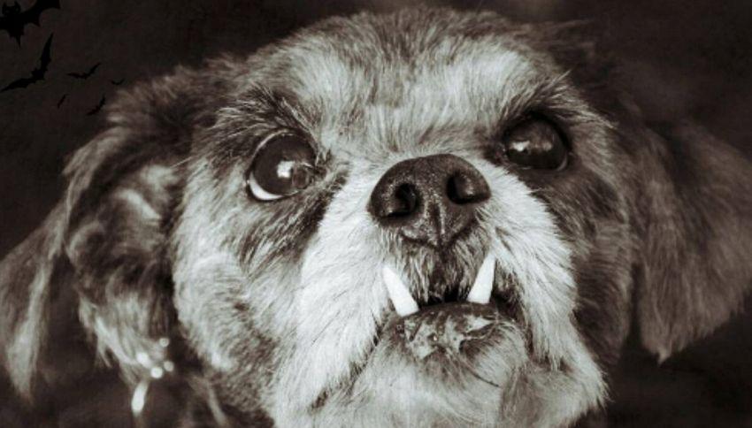 Milo, il cane vampiro più adorabile del mondo
