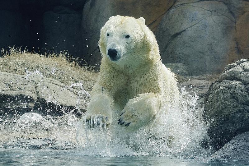 Come rendere felice un orso polare