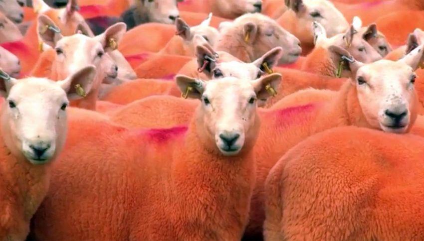 Come non farsi rubare le pecore? Colorandole di arancione