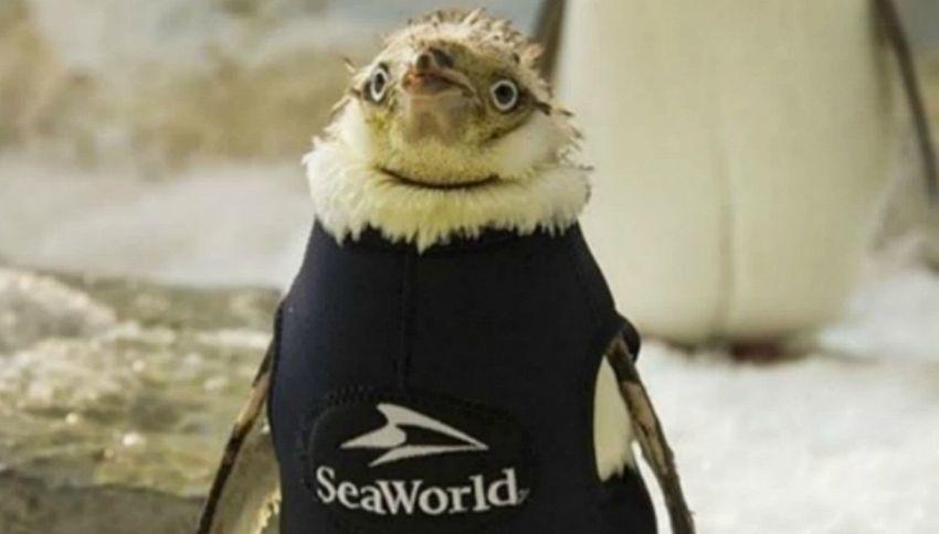 Il pinguino col cappotto, la nuova elegante star del parco acquatico di Orlando