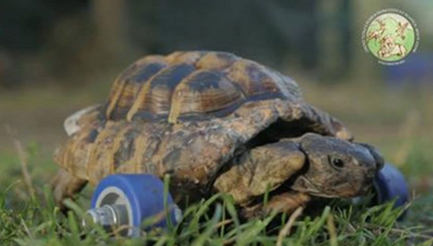 Storie di tartarughe disabili che tornano a camminare