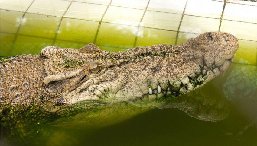 I golfisti infastidiscono il coccodrillo e lui si vendica così
