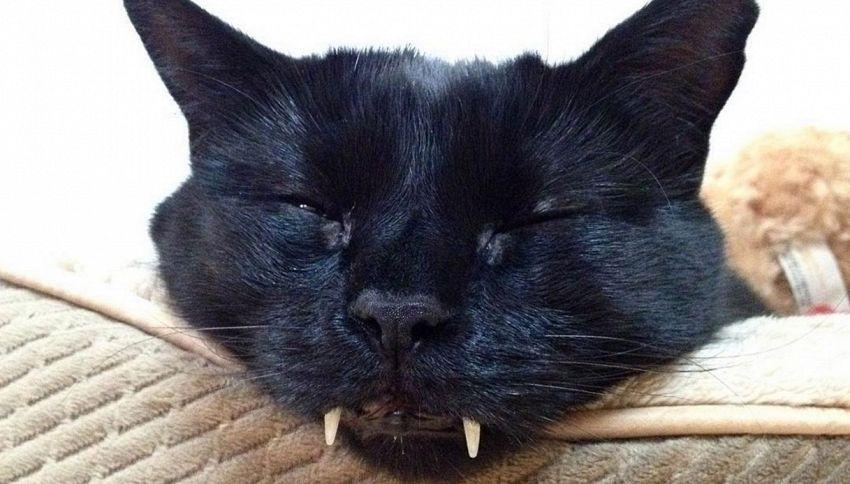 Il Gatto Vampiro In Realtà è Dolcissimo Supereva
