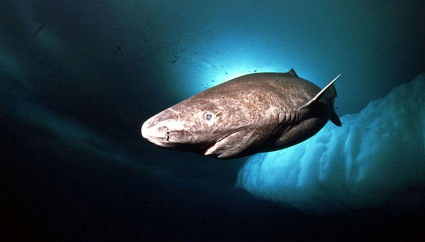 Ecco lo squalo che può vivere sino a 400 anni