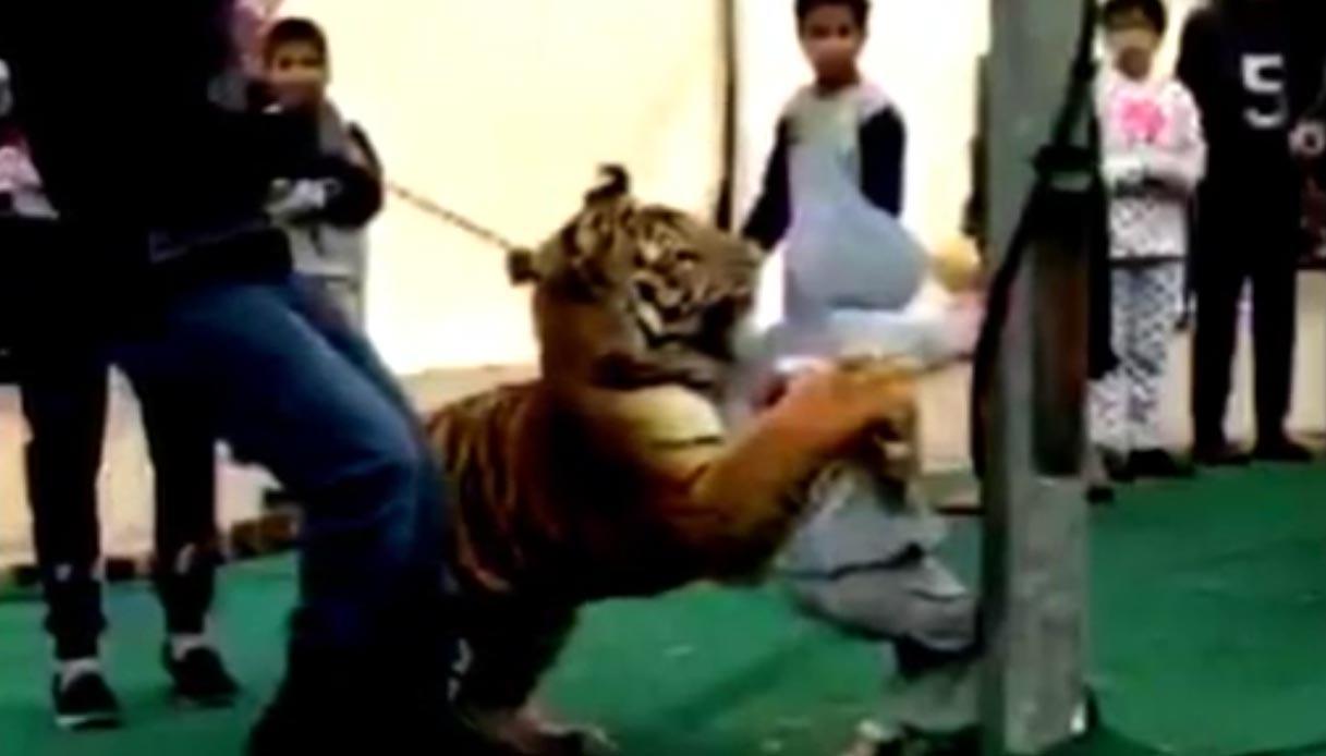 super popular 4dbb1 33734 Arabia Saudita: tigre tenta di sbranare bambina durante uno ...