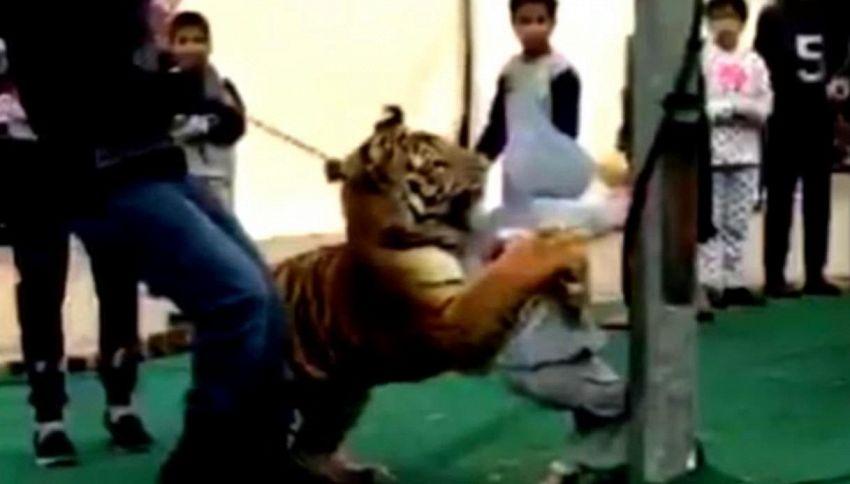 Arabia Saudita: tigre tenta di sbranare bambina durante uno show