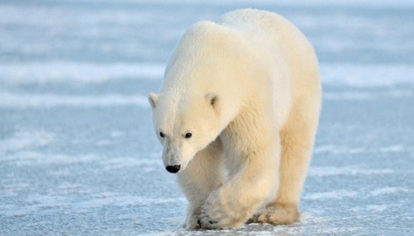 Un orso polare a 700 km dall'Artico. Colpa del clima