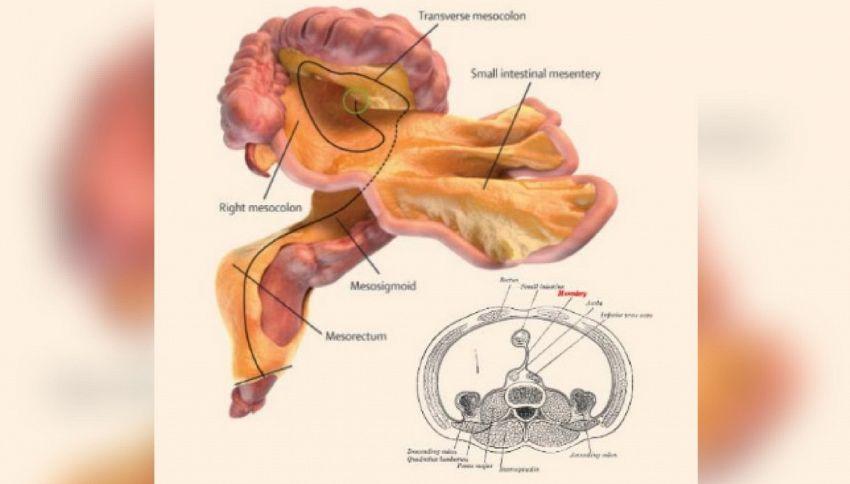 Scoperto nuovo organo del corpo umano: ecco a cosa serve