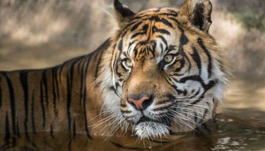 Scavalca il recinto dello zoo e affronta tre tigri