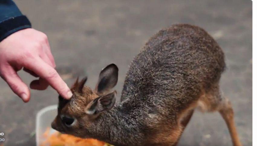 La piccola antilope orfana che lo zoo non riesce a pesare