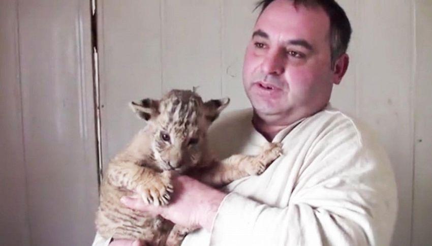 Nato un cucciolo di leontigre, una rarità