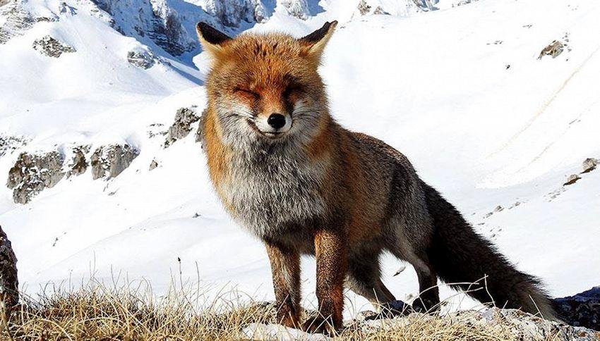 La volpe superstar: dopo essersi stiracchiata, fa l'occhiolino