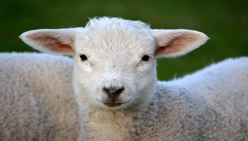 """Ragazzo va a spasso con l'agnellino: """"Così non lo sopprimono"""""""