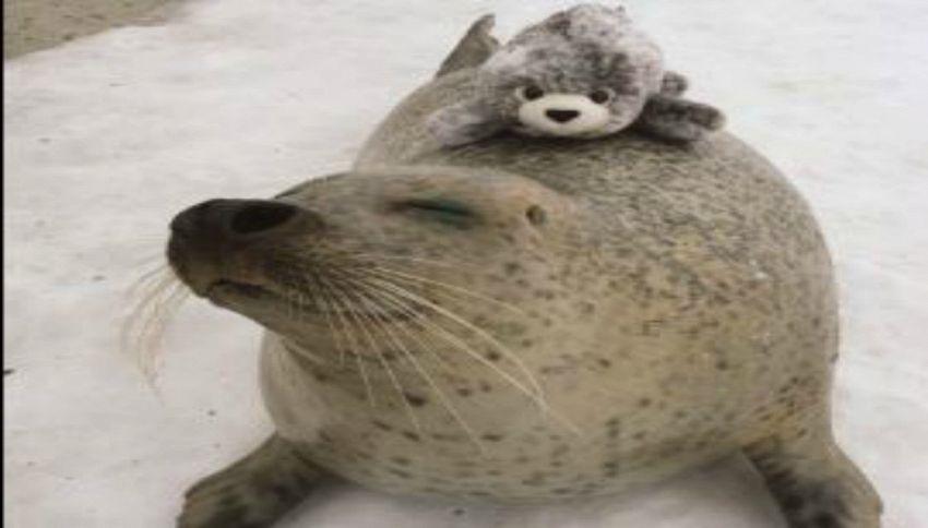 Questa foca non smette mai di abbracciare il suo peluche