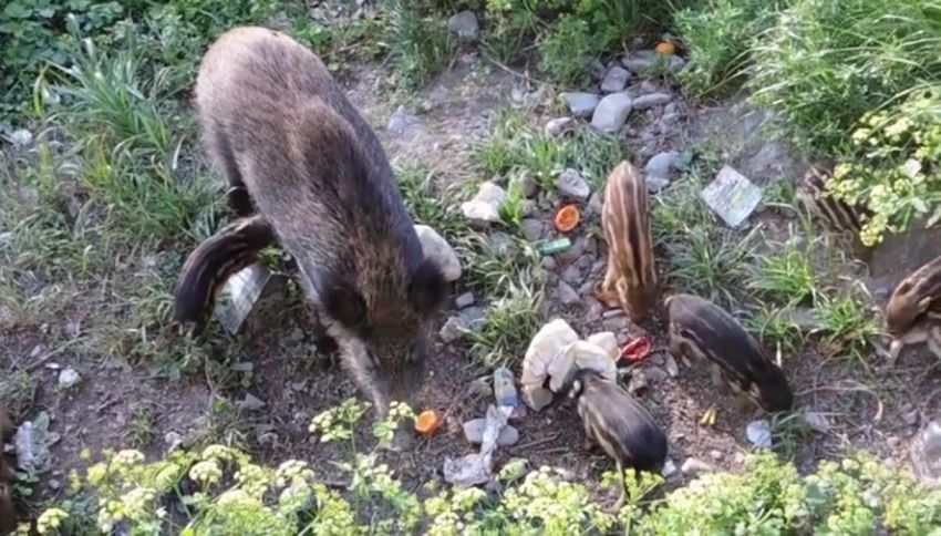 Mamma cinghiale e 8 cuccioli a spasso nel Bisagno