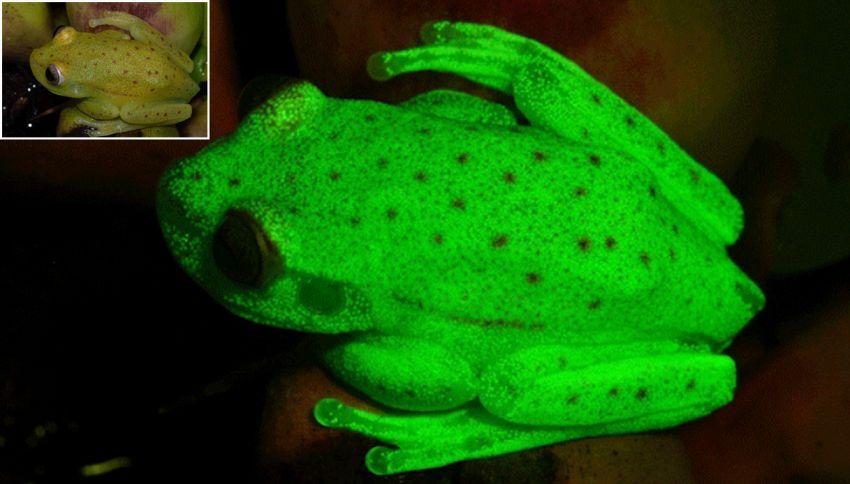 Scoperta in Amazzonia la prima rana fluorescente