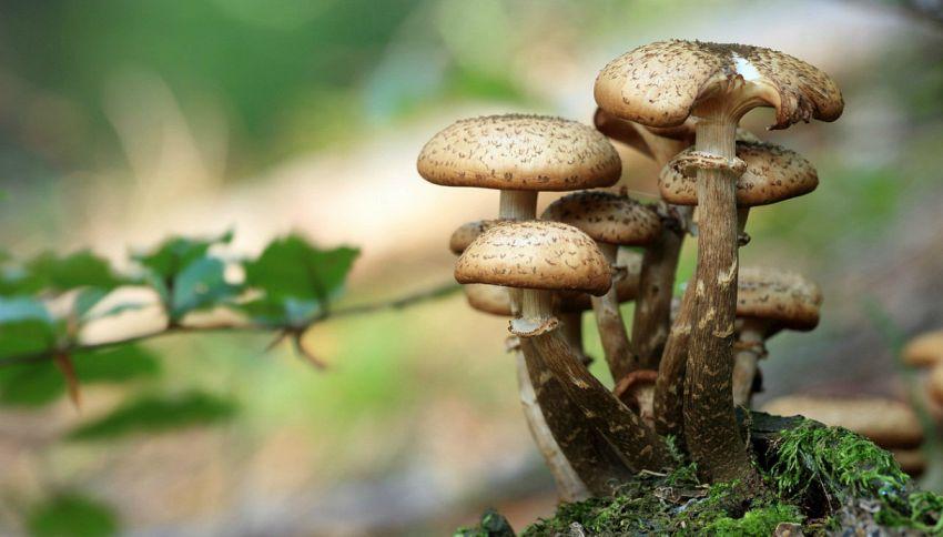 Perchè i funghi brillano?