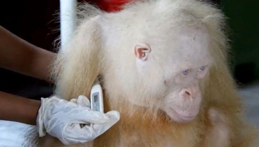 L'orangotango con gli occhi azzurri commuove il web