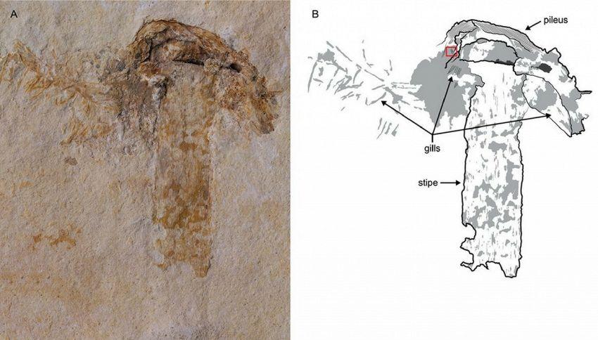 È stato scoperto un fungo che ha 115 milioni di anni