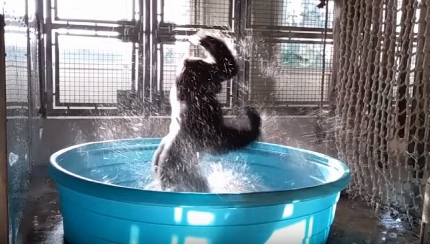 Gorilla balla la breakdance in acqua, il video che fa sorridere