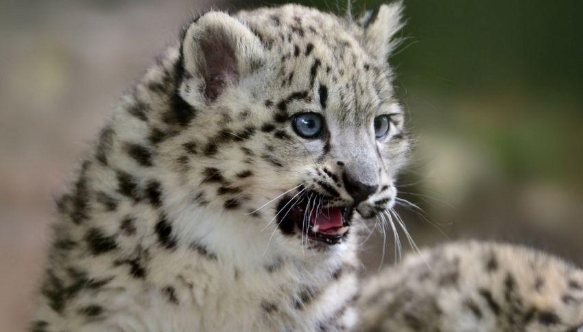 Nati a Bergamo due rari leopardi delle nevi