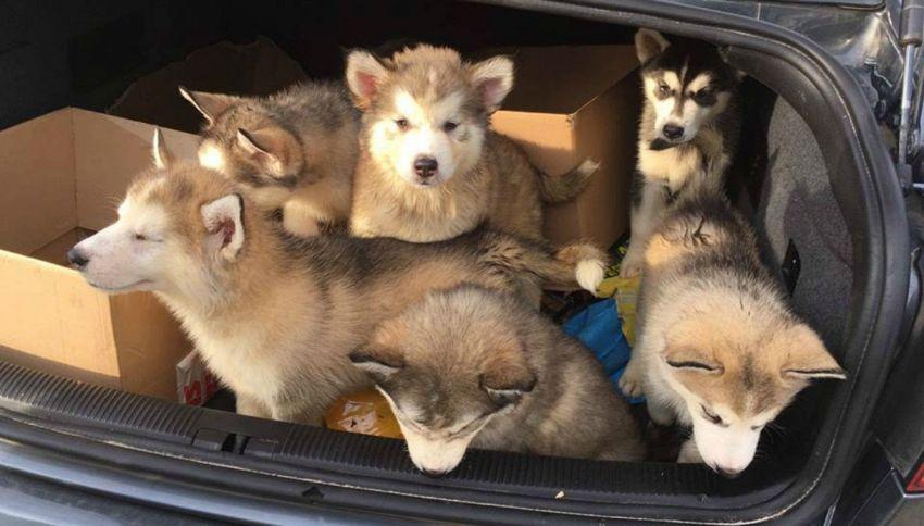 Polizia salva cuccioli di husky chiusi nel bagagliaio di un'auto