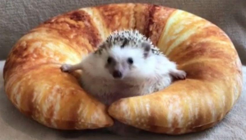 Il riccio incastrato nel croissant conquista tutti