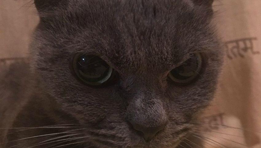 Shamo: il gatto più arrabbiato del mondo